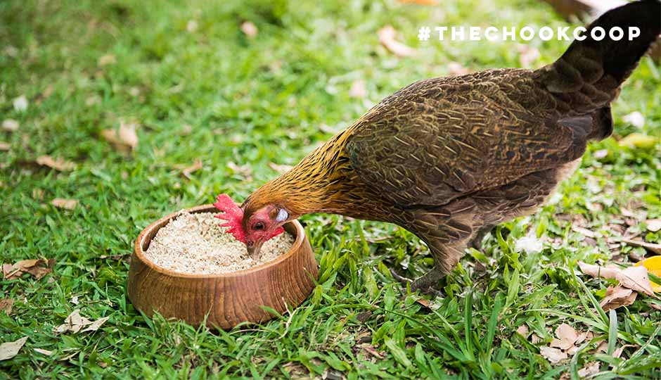 magda jungle fowl chicken eating shell grit in coop