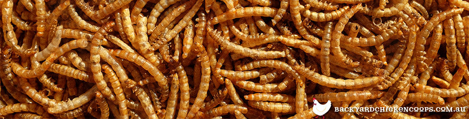 mealworms-are-a-super-treat-for-chickens