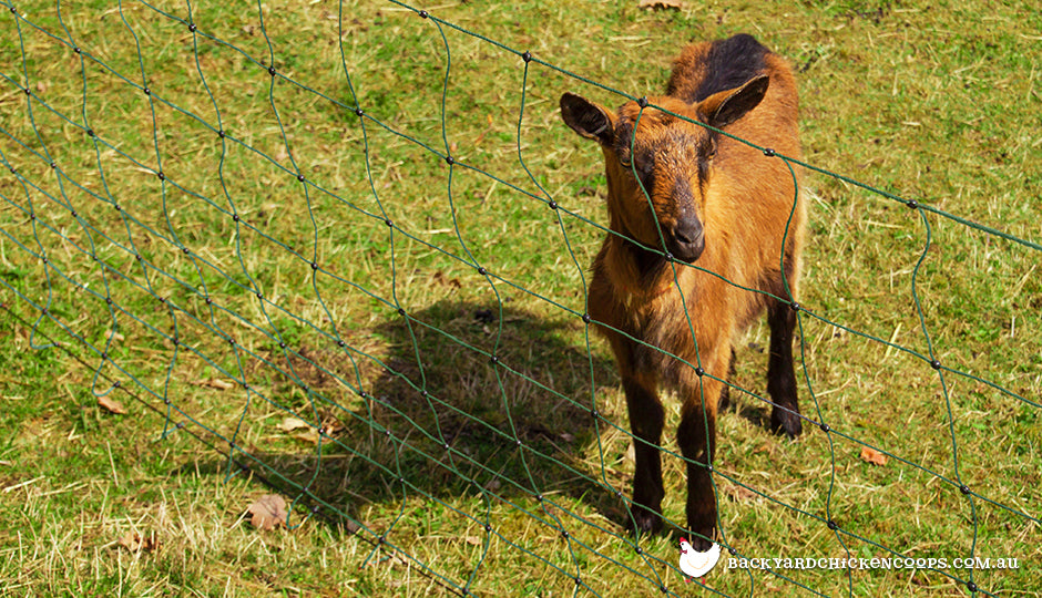 miniature goat in electric fencing
