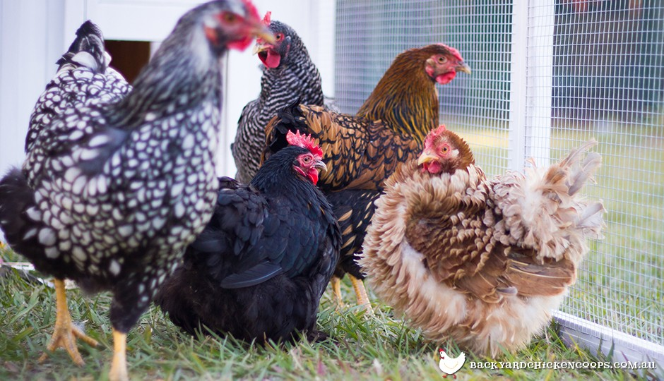 Can I Keep More Than One Chicken Breed in my Flock?