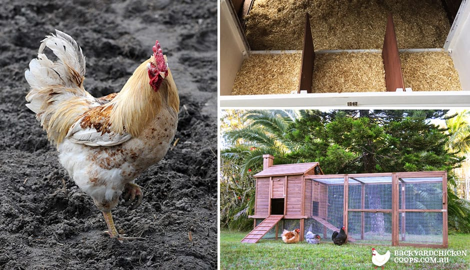 A Chicken Lovers Guide To Defeating Worms