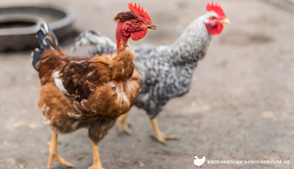 5 Reasons To Love Your Naked Neck Chickens