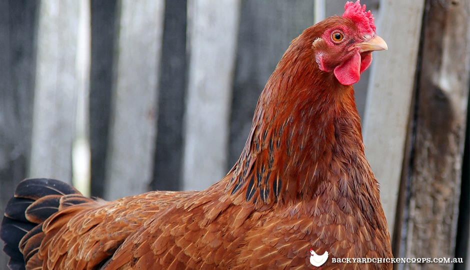 new-hampshire-chicken-hens-a-gentle-and-elegant-breed