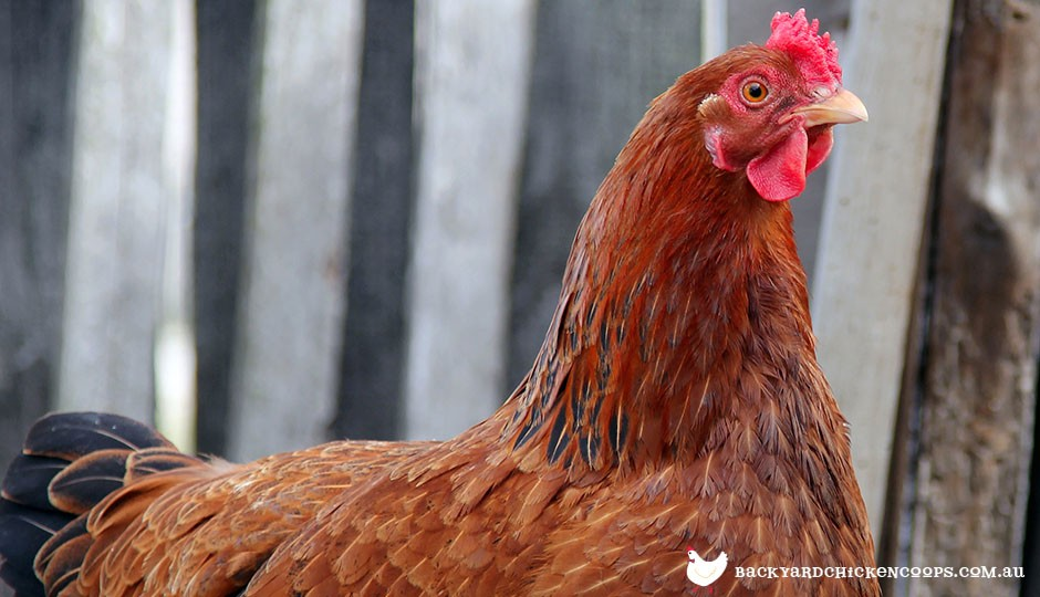 New Hampshire Red chicken