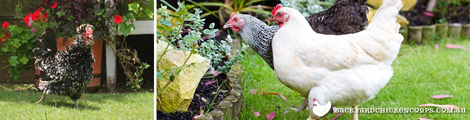 non-laying-hens-still-make-excellent-pets