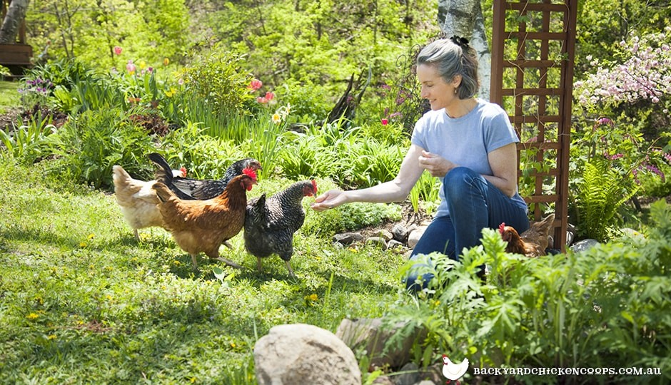 backyard chicken keeper feeding her four beautiful free range chickens