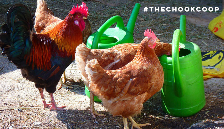 pet chickens drinking water from watering cans