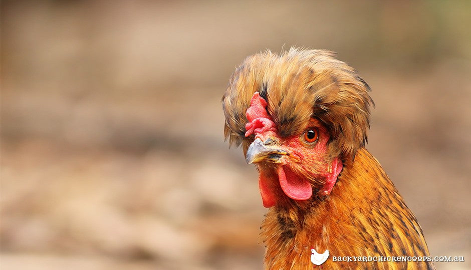 Despite the many different breeds of chickens, their head anatomy is roughly the same
