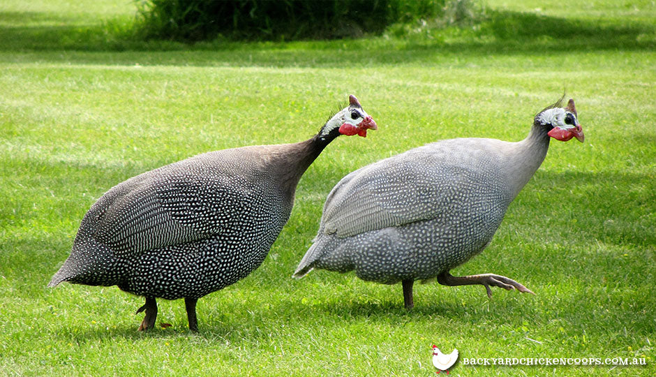 backyard guinea fowl