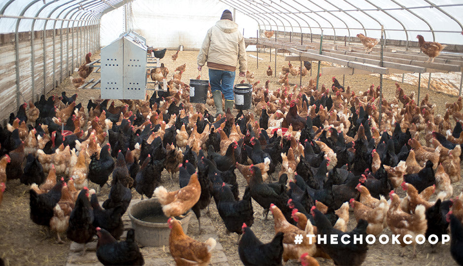 poultry farm chickens for egg laying