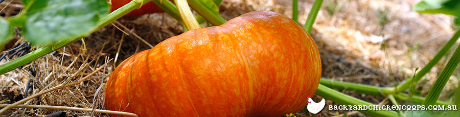 pumpkin-is-a-top-plant-to-grow-in-spring