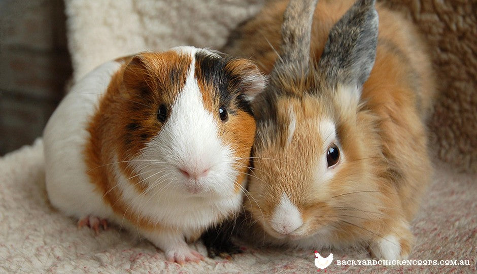 Some rabbits and guinea pigs can get along, but it's better to keep them apart