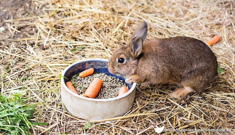 Just like bugs bunny, rabbits love to eat carrot