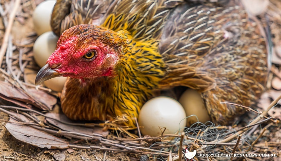 The Secret Laying Lives Of Chickens