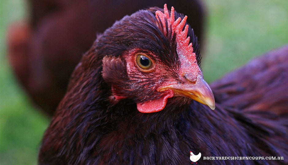 Rhode island red chicken close up