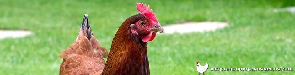 rhode island red chickens are great layers and table birds