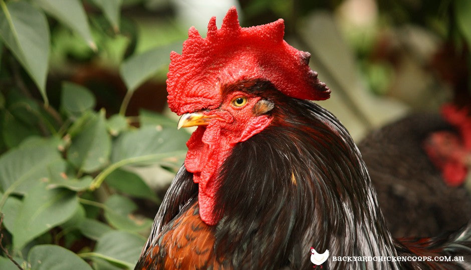 Do I Need a Rooster in my Flock? | Poultry Learning Centre