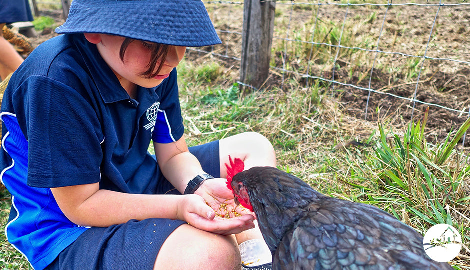 school student child feeding backyard chicken