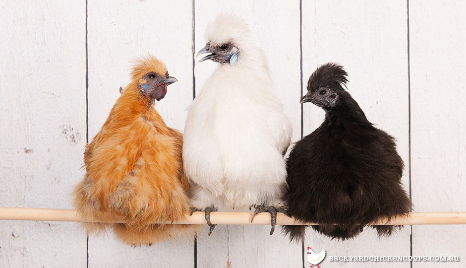 silkie-bantams-are-the-most-lovable-chooks