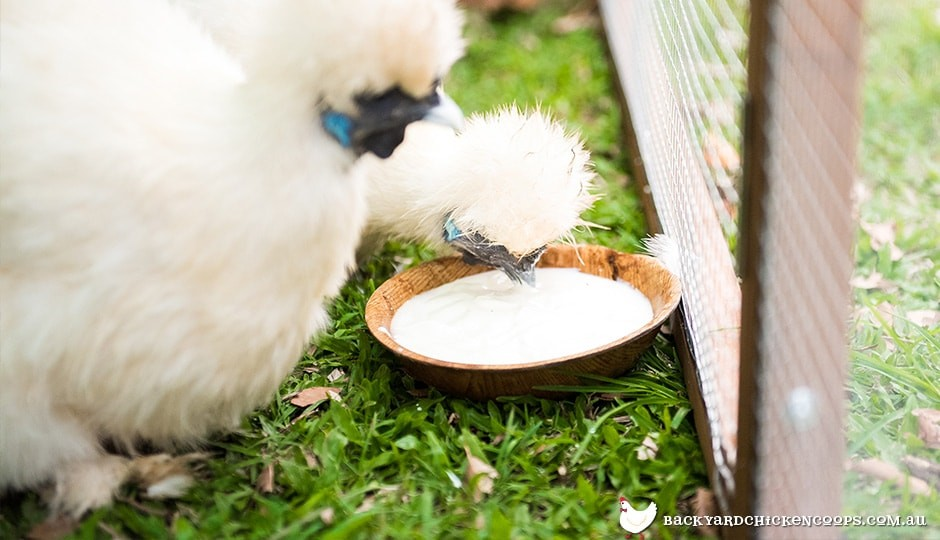chilled yoghurt is hydrating and cooling for backyard chickens
