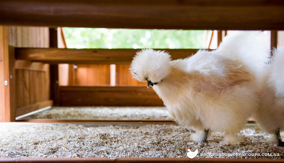 silkie chicken in mansion coop with hemp bedding material