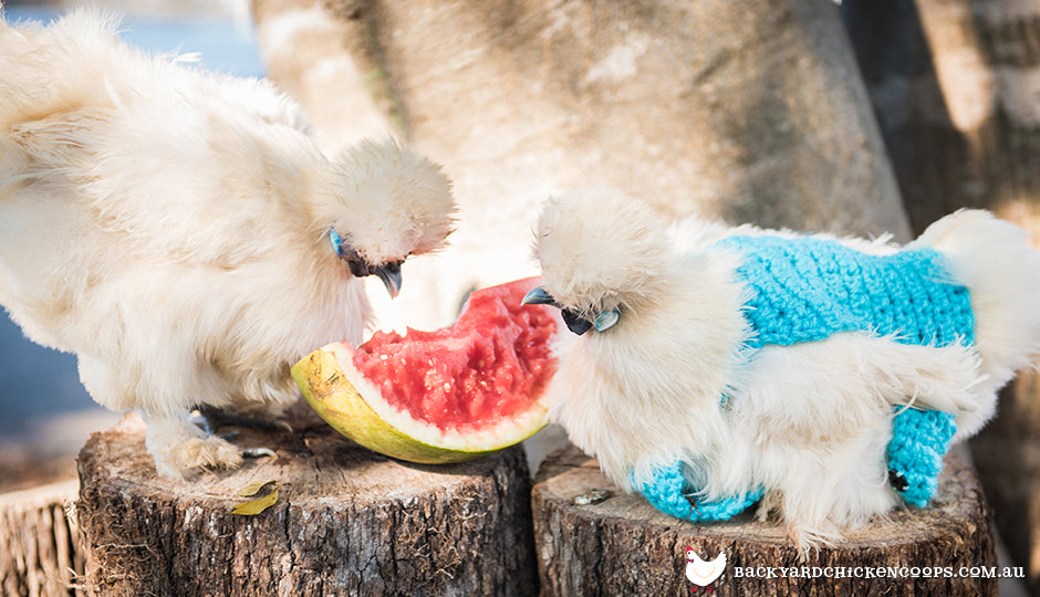 Silkie chickens in chicken jumpers eating watermelon