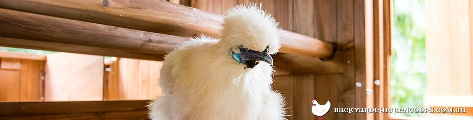 silkie-chicken