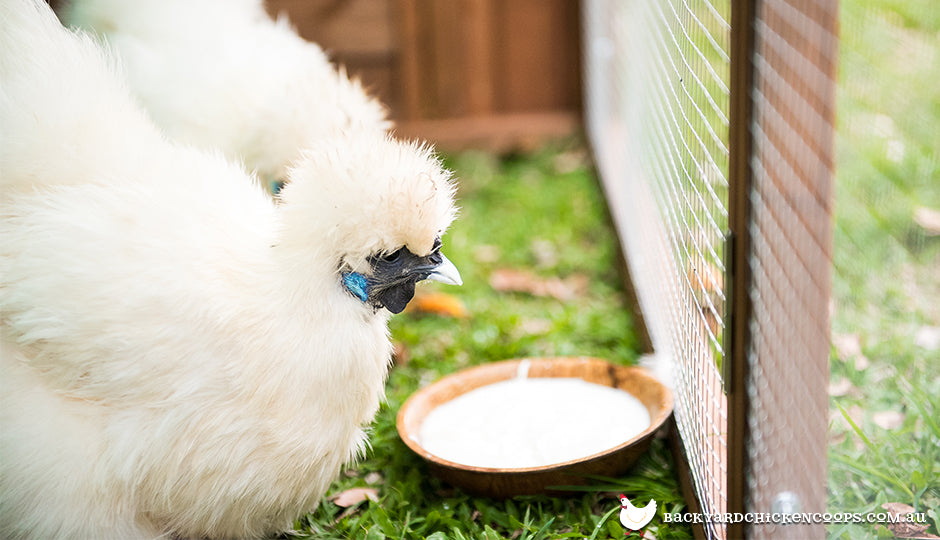 silkie chickens eating natural yoghurt in backyard coop