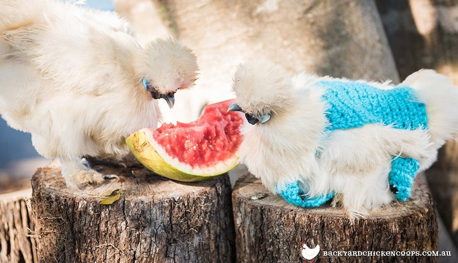 silkie-chickens-eating-watermelon-and-wearing-jumpers