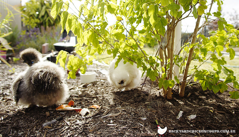 silkie chickens foraging in backyard