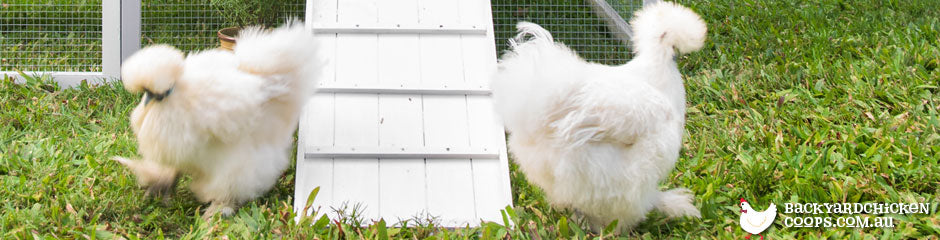 silkies-are-a-perfect-chicken-breed-for-families