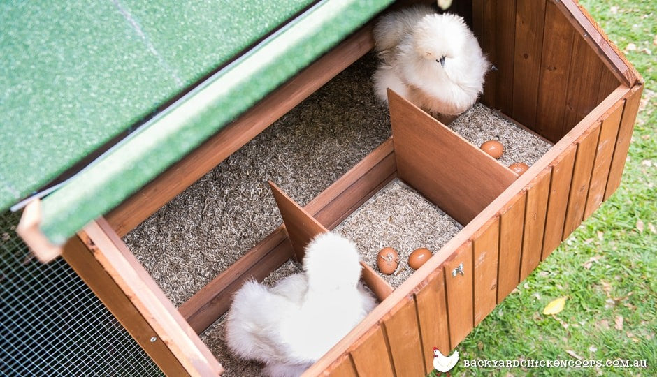 silkies-laying-in-nesting-boxes