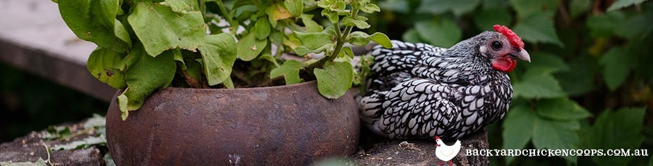 silver laced wyandotte chickens are great layers and table birds