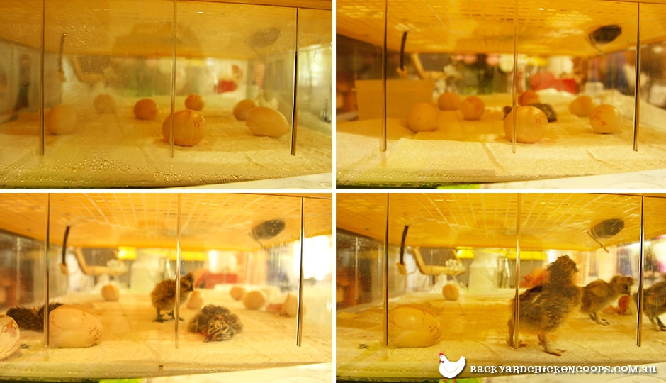 a time lapse of the incubation and hatching process