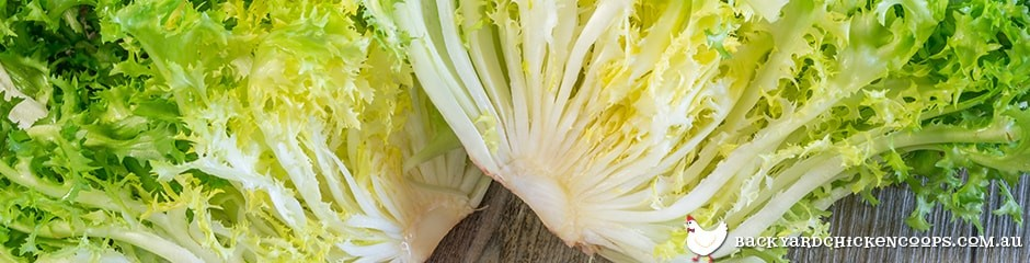 sliced-chicory