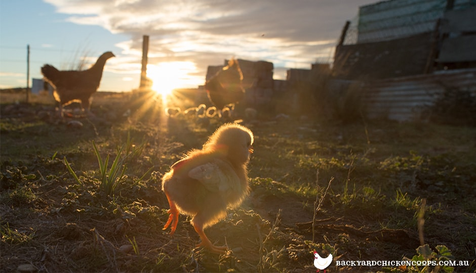 the weather and temperature is perfect for baby chicks in spring