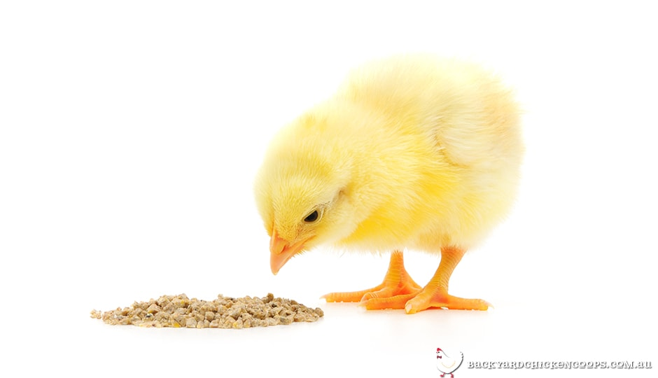 baby chick eating essential started chicken feed