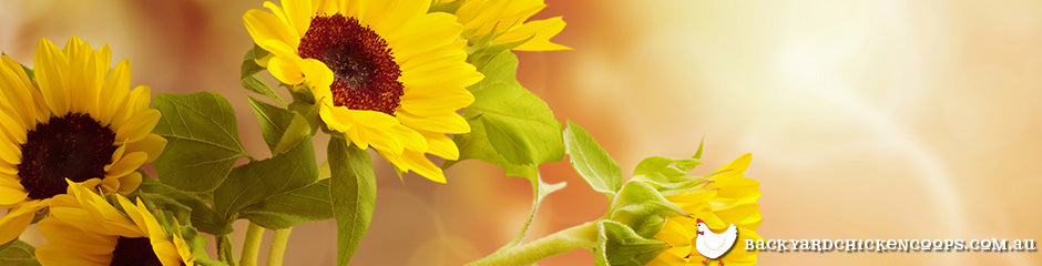 sunflowers-are-a-top-flower-to-grow-in-spring