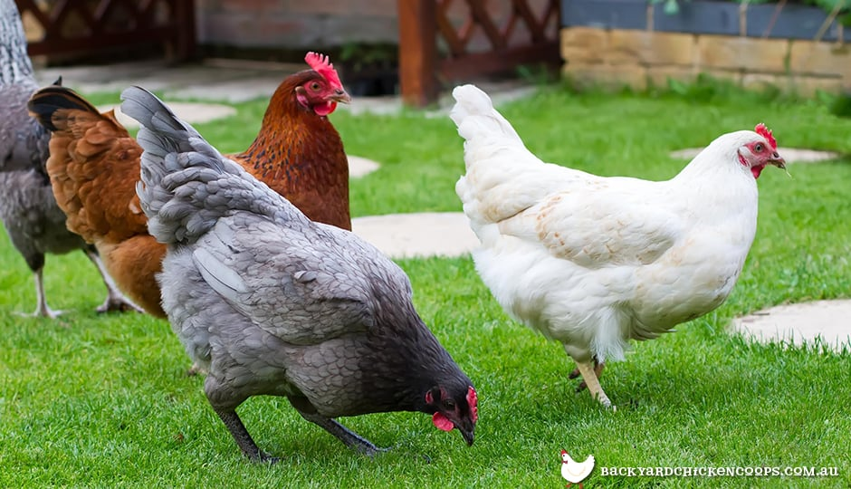 the-environment-which-chickens-are-raised-affects-nutrition