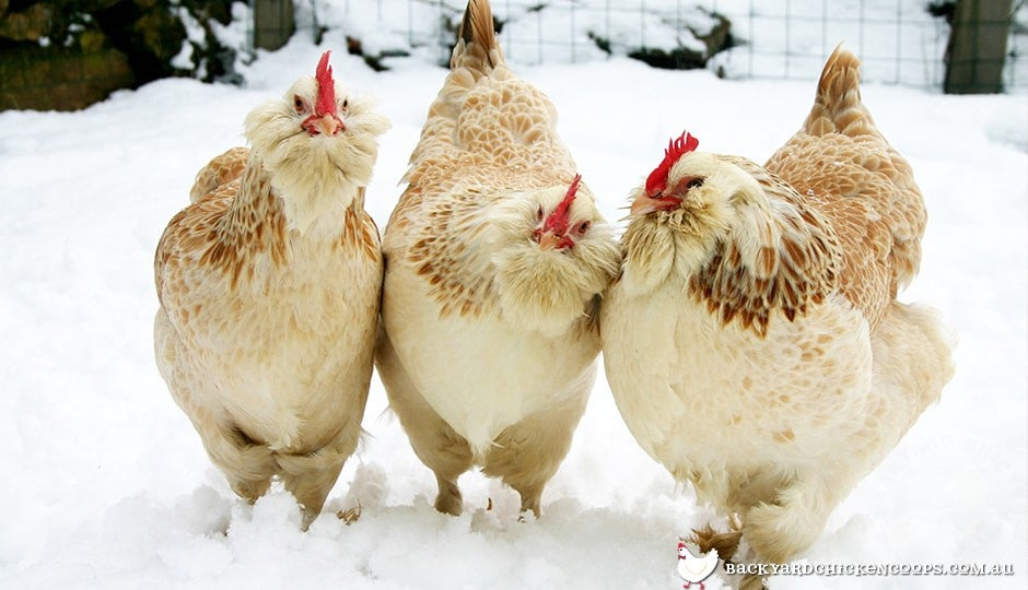 three-faverolle-chickens-in-the-snow