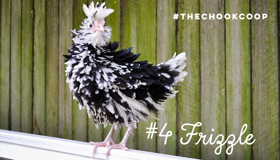 cute chicken breed frizzle