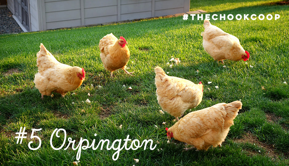 cute chicken breed orpington
