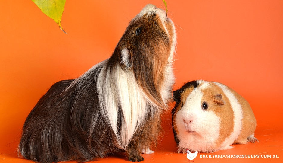 guinea pigs need to eat a balanced diet to keep a healthy coat