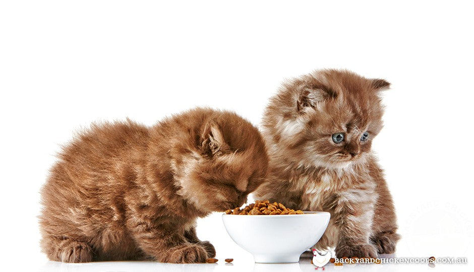 Kittens eat the same types of food as older cats, with slight differences