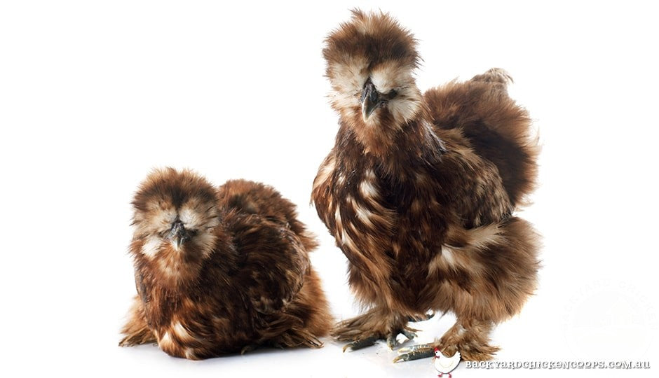 silkies come in many different colours, but all of them fluffy