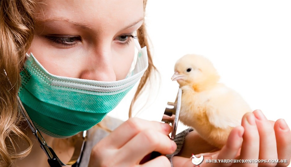 vet checking on a baby chick's heartbeat