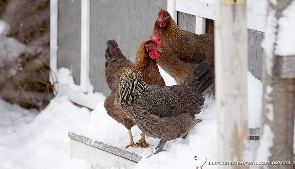 welsummer-chickens-in-the-snow