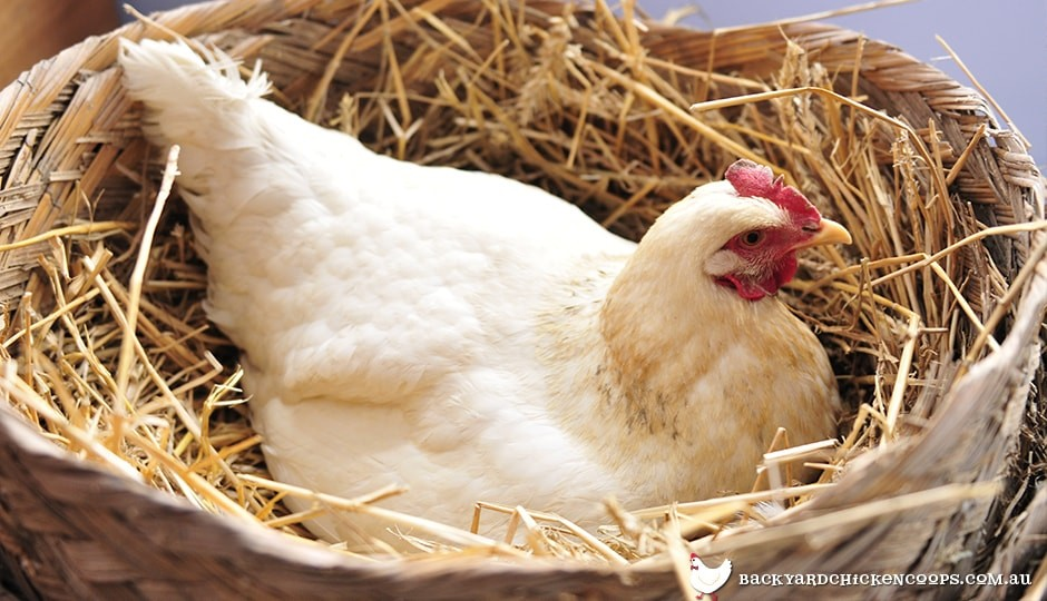 white-chicken-laying-eggs