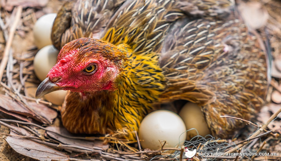 Broody Wyandotte chicken laying on nest with eggs