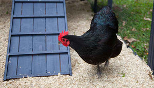 black hen in penthouse chicken coop run with hemp bedding